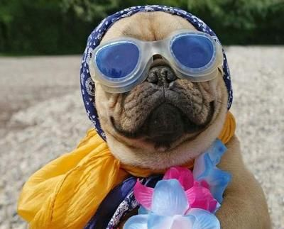 Costume Pug in Goggles (Puggles?)