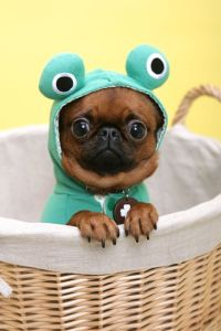 There are usually pugs dressed as other animals: This little guy was just too cute.