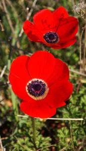 Palestinian Poppy